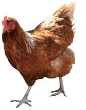 ウルトラランを産む鶏